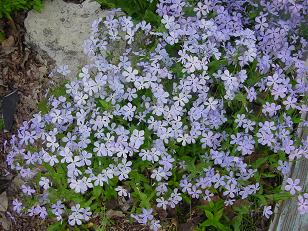 purpleflowerssm.JPG