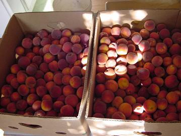 peaches7sm.JPG