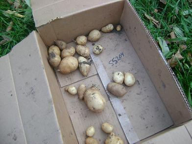 potatoesfromcontainer09sm