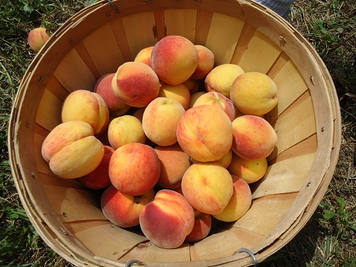 peach_picking_2